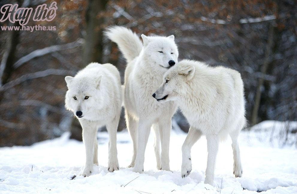 Những tình huống dở khóc dở cười khi đi mua ba con Sói